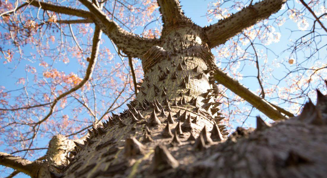 Cocoon Organic Kapok tree