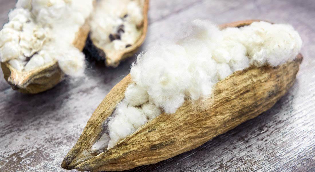 Cocoon Organic Kapok fruit