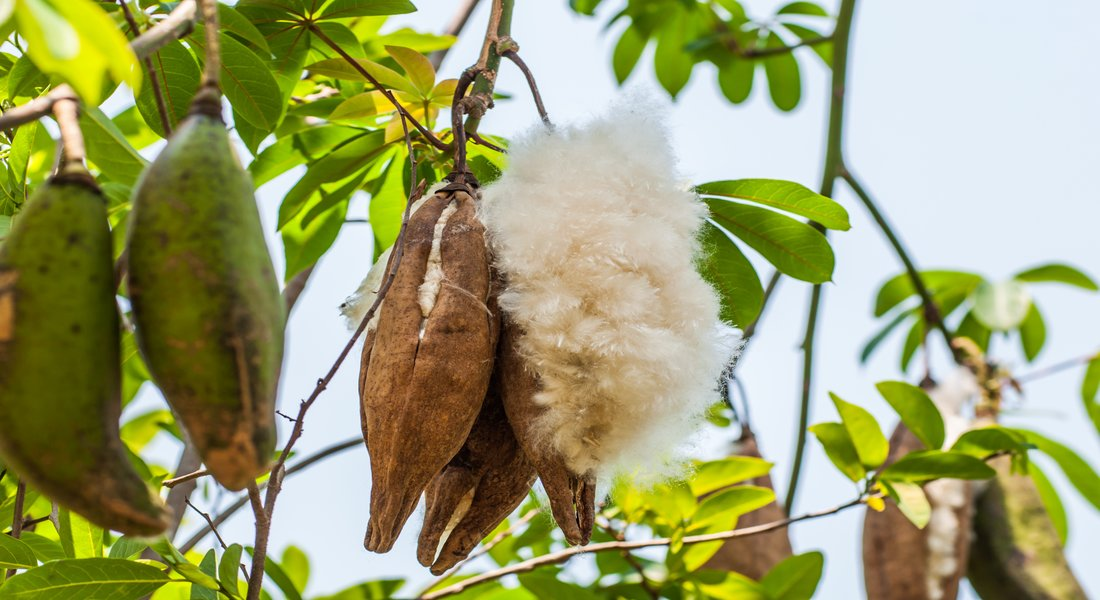Cocoon Organic Kapok fruit on Ceiba tree